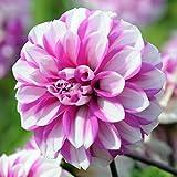 3 bulbs Dahlia Waterlily Priceless Pink
