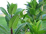 Mint- Peppermint, Mentha Piperita(300 Seeds) Grow Indoors or Outdoor-organic ! by wbut2023