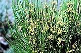 9 Seeds American Ephedra Seeds, Ephedra nevadensis,