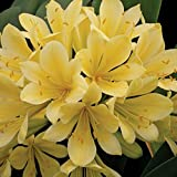 9EzTropical - Yellow Fire Lily - Good Hope Clivia - 1 Plant - 6 or More Leaves - 1 Gal Pot