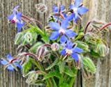 David's Garden Seeds Herb Borage SL9124 (Multi) 200 Non-GMO, Heirloom, Seeds