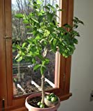 Key Lime Tree - Dwarf Fruit Trees - Indoor/Outdoor Live Potted Citrus Tree - 4-5 ft. Tall Trees - Cannot Ship to FL, CA, TX, LA or AZ