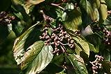 10 Seeds Hovenia dulcis Japanese Raisin Tree