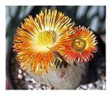 Pleiospilos nelii - split rock plant - 10 seeds