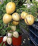 Solanum Muricatum Sweet Cucumber Seeds, Professional Pack, pepino dulce melon pear edible fruits