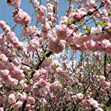 Double Flowering Plum> Prunus triloba var. multiplex> Landscape Ready 3 gallon Container