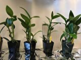 3 Large Diffferent Dendrobiums Live Orchids Plants