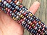 Glass Gem Cherokee Indian Corn Heirloom Premium Seed Packet + More