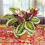 Seeds Shopp 50 Pcs Calathea Seeds Air Freshening Plants Rare Beautiful Flowers Seeds Office Desk Bonsai For Flower