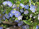 50 CREEPING BLUE SPEEDWELL / VERONICA Repens Flower Seeds *Comb S/H