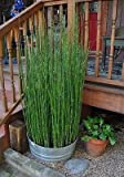 50 x Horsetail Reed Pond Plants bamboo