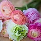 Ranunculus Tecolote Pastel White Lace Collection - 30 XL Bulbs - 8+ cm | Ships from Easy to Grow TM