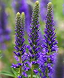 """4 Grosso Lavender/ Lavandin Lavandula X Intermedia/ """"Fat Spike"""" in 4 Inch Pots"""