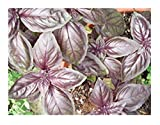 Dark Opal Sweet Basil, 500+ Premium Heirloom Seeds, Fantastic Addition to Your Home herb Garden! Rich in Flavor & Color! (Isla's Garden Seeds),85-90% Germination Rates, Highest Quality Seeds