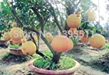 New Arrival!!! 20/bag Hardy Mini Pummello Pomelo Pomello tree Dwarf kao Pan Grape fruit! Rare Bonsai Fruit seeds for home garden