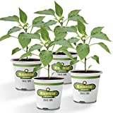 Bonnie Plants Tabasco Pepper - 4 Pack Live Plants | 1.5 - 2 Inch Fruits | 24 - 36 Inch Tall Plants | Great For Pickling & Preserving