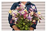 David's Garden Seeds Flower Columbine McKana Giant QA1135 (Multi) 500 Non-GMO, Heirloom Seeds