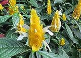 Golden shrimp plant a subtropical soft stemmed evergreen shrub 36 inches tall .: Pachystachys lutea
