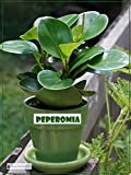 "Peperomia Green Live Plant Foliage Plant Fit 4"" Pot"