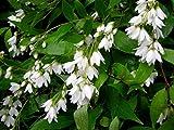 "Nikko Dwarf Deutzia - Brilliant White Flowers - Hardy - 4"" Pot"