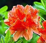 """Tangerine Delight Deciduous Exbury Azalea - Very Hardy/Fragrant - 2.5"""" Pot"""