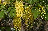 Cassia fistula Tree 3 Seeds golden shower tree Yellow flower shower