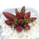 Succulent Live Plant - Adromischus Marianae 4cm -Garden Rare Beautiful Plant