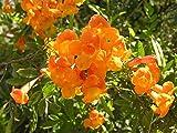 Tecoma stans Orange Jubilee | Trumpet Bush | 20_Seeds