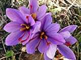 Saffron Crocus 10 Bulbs + Saffron Bulb Food - Crocus Sativus -Immediate Shipping