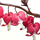 Bleeding Heart Valentine - Established Rooted - Perennial - Quart Pot - 1 Plant by Growers Solution