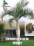 50 Spindle Palm seeds, ( Hyophorbe verschaffeltii )