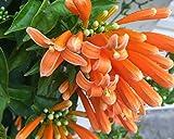 "1 Rooted of Pyrostegia Venusta ""Hua Pala"""