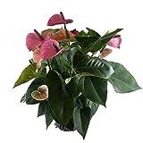 """Crisp Plants Live Anthurium Plant, Purple, 20"""" Tall, 6.5"""" Wide Grower Pot"""