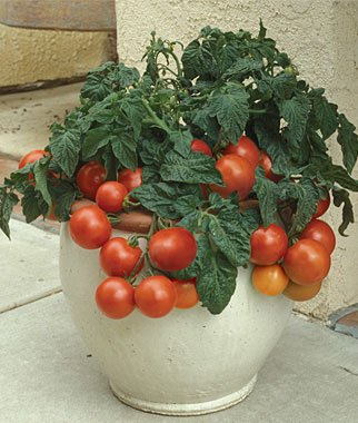 Patio Princess Hybrid Tomato 200 Seeds By Jays Seeds