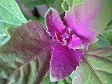 100 GIANT GOOSEFOOT Chenopodium Giganteum Purple Magenta Spreen Vegetable & Ornamental Seeds