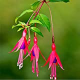 ADB Inc Fuchsia Magellanica Seeds Beautiful and Hardy Plant