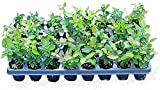 "10 Blueberry bush plants 3"" to 6"" plus  500ct blueberry seeds"