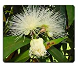 MSD Mousepad Jambo Rose Apple hemarfrodite flowers Syzygium jambos parque ceret sao paulo Brazil A Southest Asia native tree second floration this year Natural Rubber Material Image 33