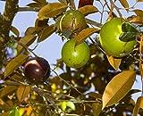 1 Starter Plant Of Star Apple Tree