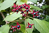 Harlequin Glorybower, Clerodendron trichotomum, Tree Seeds (20 Seeds) by Parahita Store