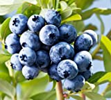 300+Super Sweet n Huge BLUEBERRY SEEDS! Highbush Mix Perennial Fruit