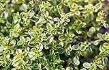 "Gold Edged Thyme- Live Plant - Lemon Scent & Bright Golden-Edged Leaves - 3"" Pot"