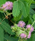 Sensitive Plant-Mimosa pudica 50+ Seeds