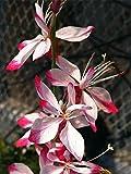 Little Janie Whirling Butterflies Perennial - Gaura - Quart Pot - Live Plant