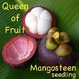 ~Queen of Fruits~ PURPLE MANGOSTEEN Garcinia mangostana RARE FRUIT Potd starter