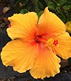 Hibiscus Rosa-Sinensis 'Joanna' ~ Live Plant