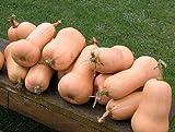 20+ Squash Seeds- Waltham Butternut- Heirloom Variety