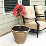 Sundown Orange Bougainvillea Standard - 2-3 ft.