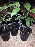 1 Live Rambutan Fruit Plant - Cay Chom Chom 9 to 11 Inches Tall