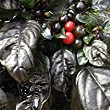 Wayland Chiles Black Pearl Pepper Grown in the USA, 10 Seeds